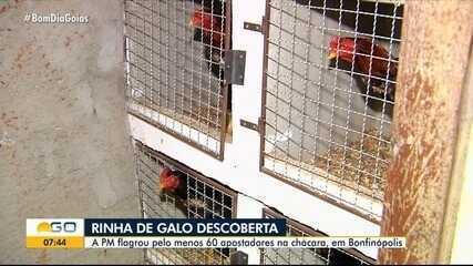 PM flagra 60 suspeitos de promover rinha de galo, em Bonfinópolis