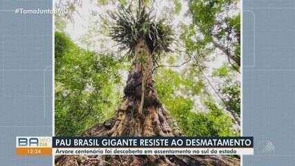 Pau-brasil com 7 metros de circunferência e mais de 500 anos é descoberto no sul da Bahia