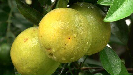 Estiagem derruba exportações de laranjas