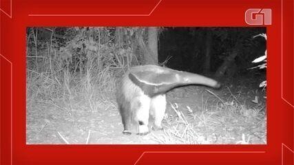 Animais são flagrados por câmera em propriedade de ecoturismo, em Bodoquena (MS).