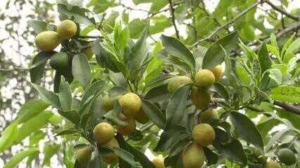 Laranja kinkan é fruta exótica e saborosa que chama atenção na feira