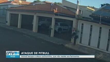 Pitbull morde mulher e mata seu lhasa apso durante passeio em Jaboticabal, SP