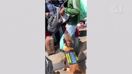 Cão Eddy, do Batalhão de Policiamento com Cães (BPCães) da PMDF encontra droga