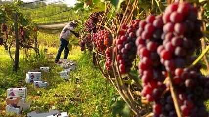 Colheitas de uvas aumentam no outono em Porto Feliz