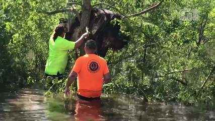 Vídeo: Vaca fica presa em árvore e é resgatada por moradores nos EUA