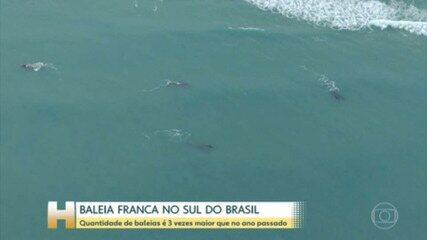 Litoral de Santa Catarina e do Rio Grande do Sul vira berçário para a baleia franca