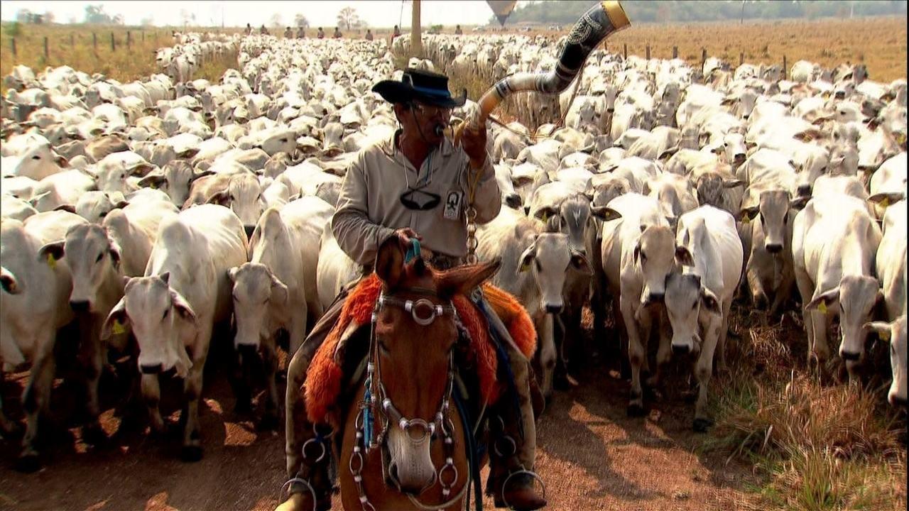 Globo Rural | Para fugir da seca, grande boiada viaja em MS ...