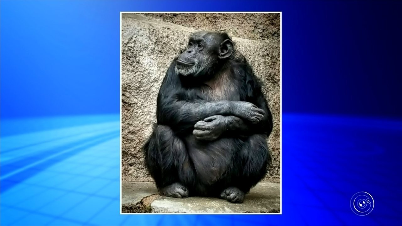 Chimpanzé Cecília chega amanhã ao Santuário dos Primatas em Sorocaba