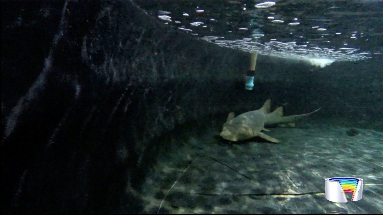 Tubarão fêmea é a nova moradora do Aquário de Ubatuba