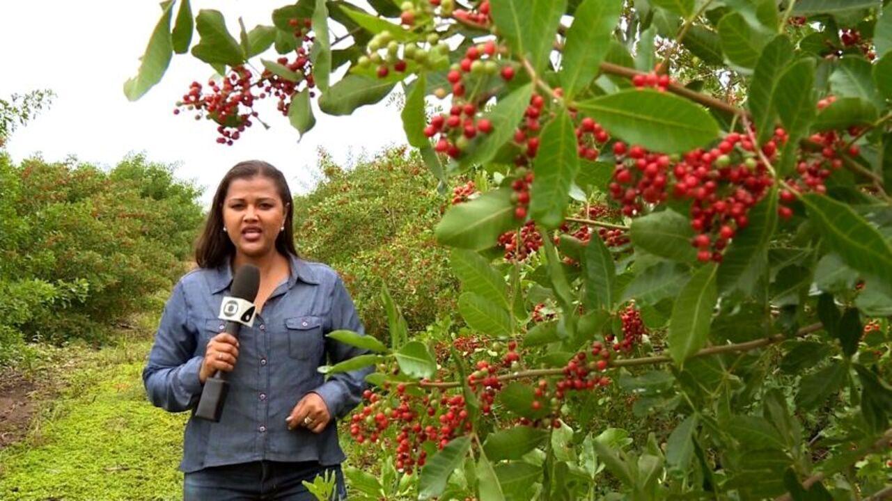 Jornal do Campo mostra pesquisas que pretendem melhorar a qualidade dos grãos de aroeira
