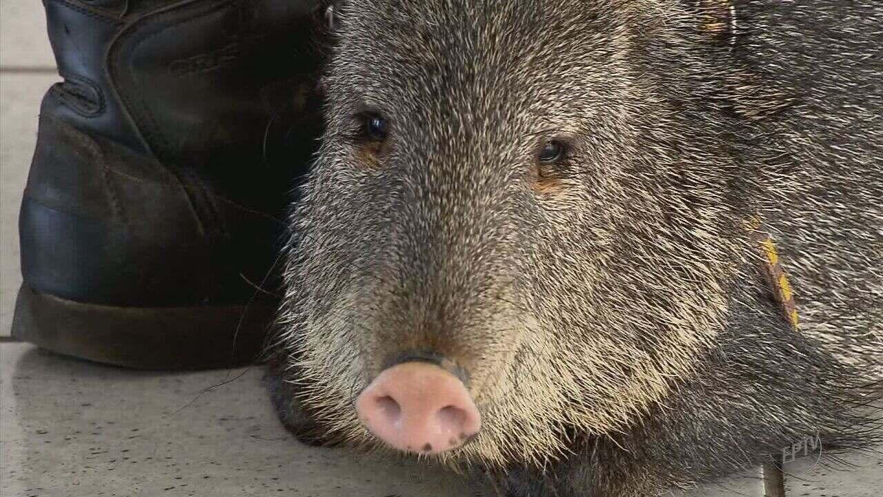 Professor de Alfenas (MG) cria porco-do-mato como animal de estimação