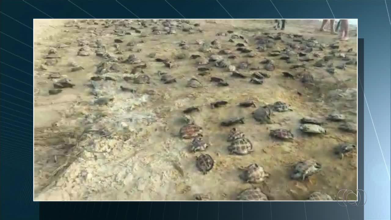 369 filhotes de tartarugas são devolvidos para a natureza em Pium