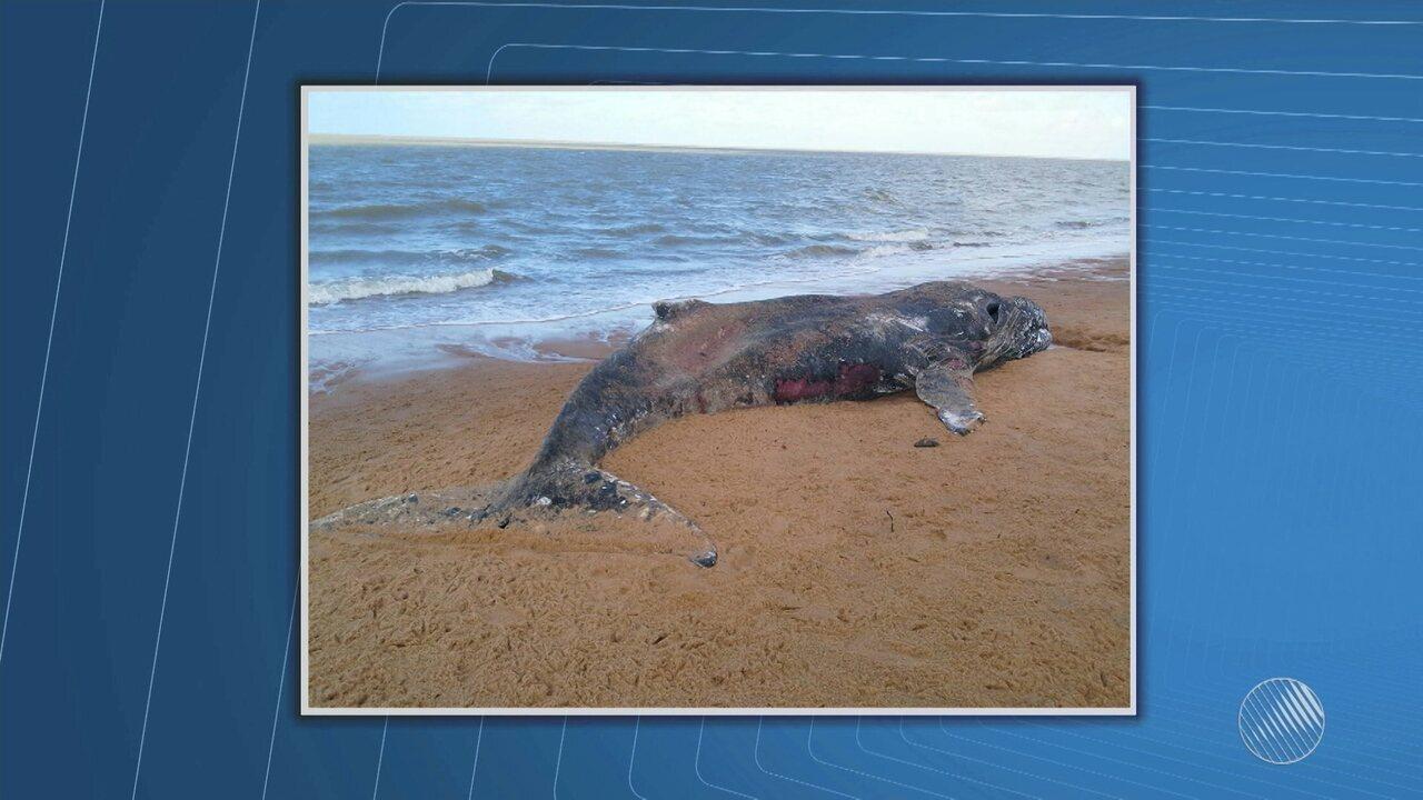 Baleia morta é encontrada em praia do sul da Bahia