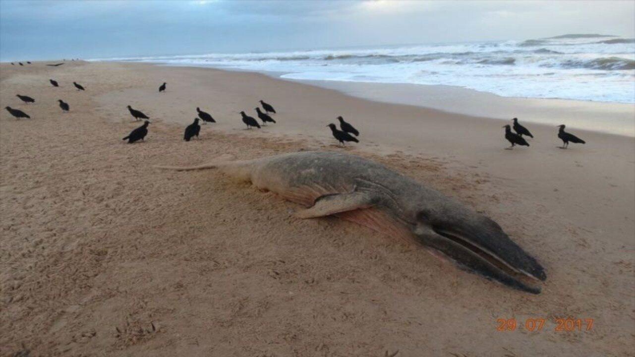 Filhote de baleia, de 4 metros, é encontrado morto em Guarapari, ES