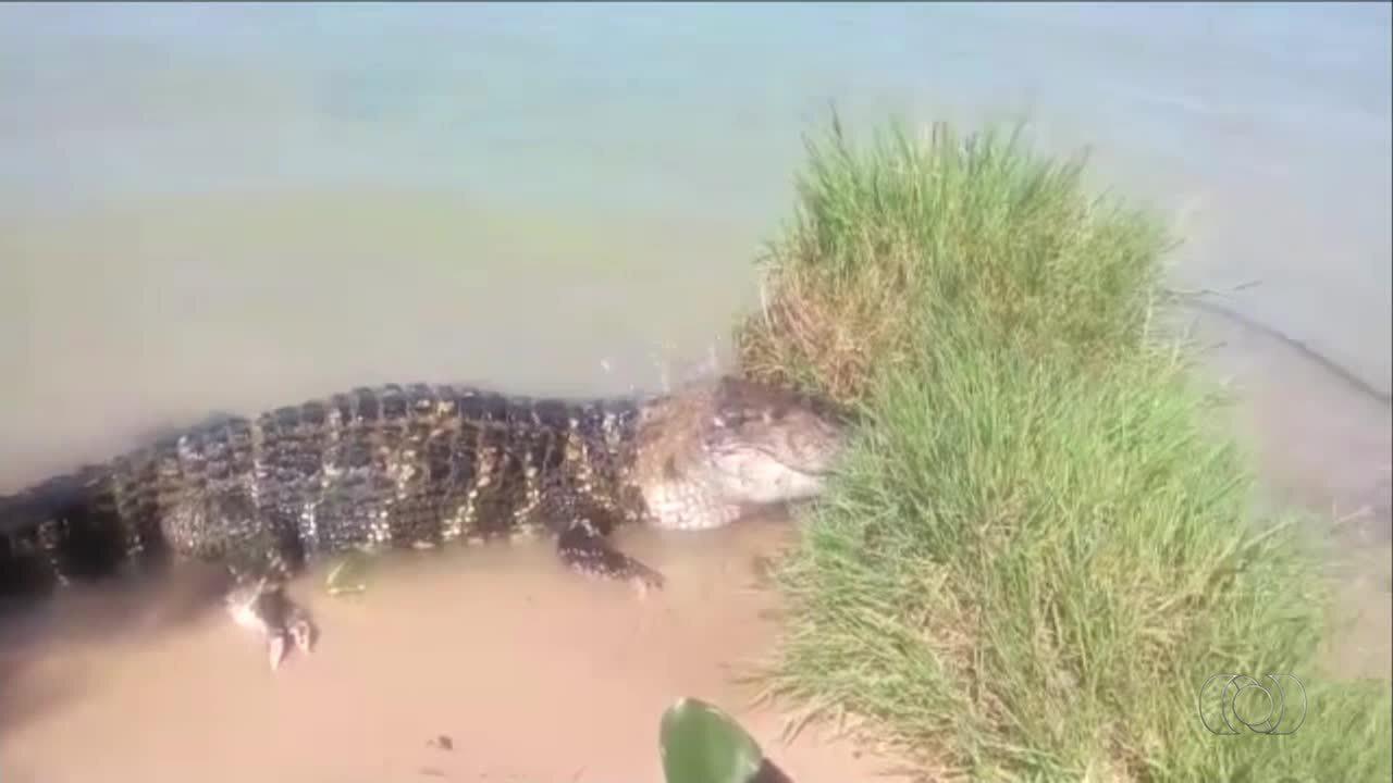 Morador flagra jacaré no lago de Palmas; veja vídeo