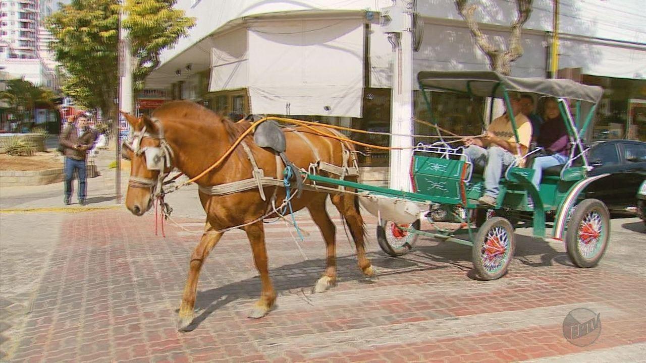 Cavalos de charretes recebem chips para serem monitorados em São Lourenço (MG)