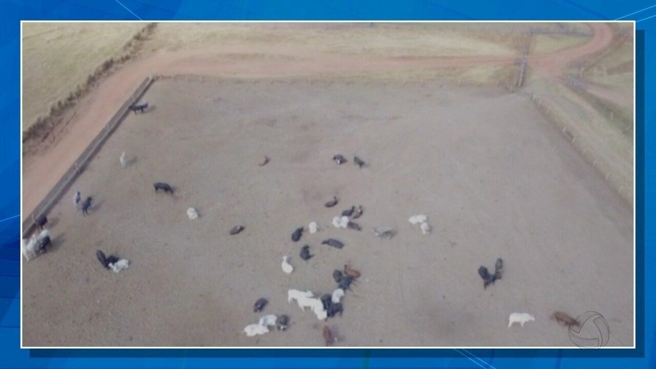 Cerca de 1,1 mil cabeças de gado morreram na propriedade rural de Mato Grosso do Sul
