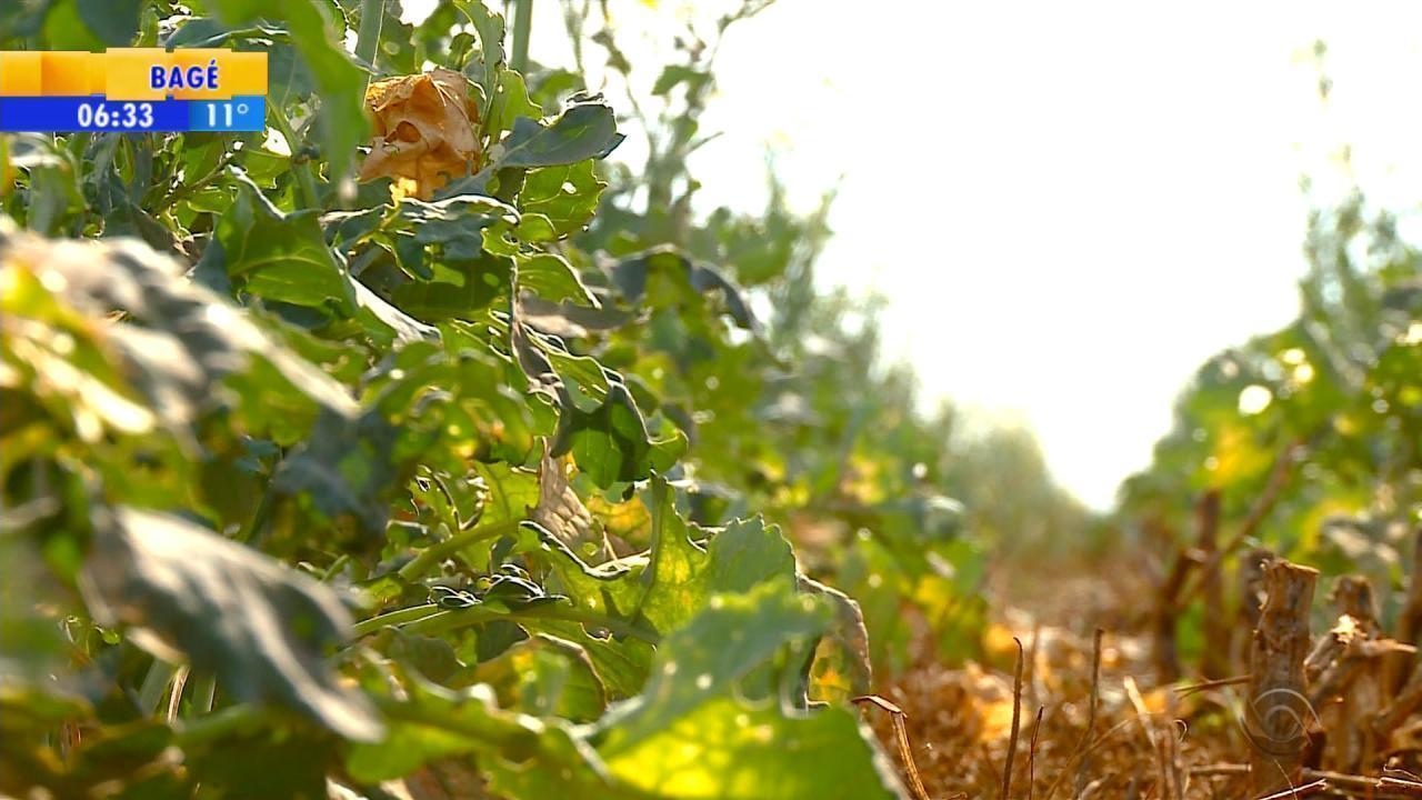 Inverno seco prejudica agricultura do Noroeste do RS