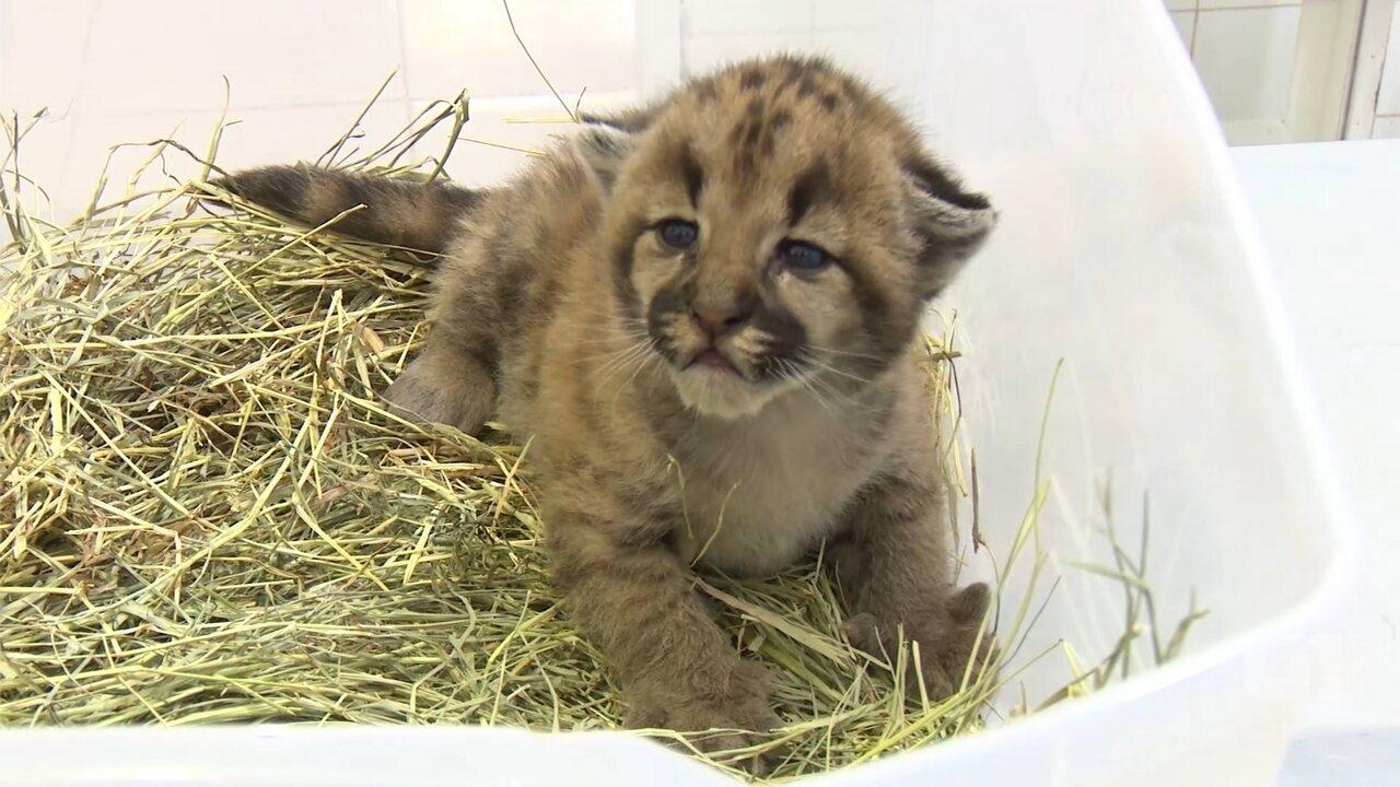 Filhote de onça encontrado em fazenda recebe cuidados no zoológico de Rio Preto