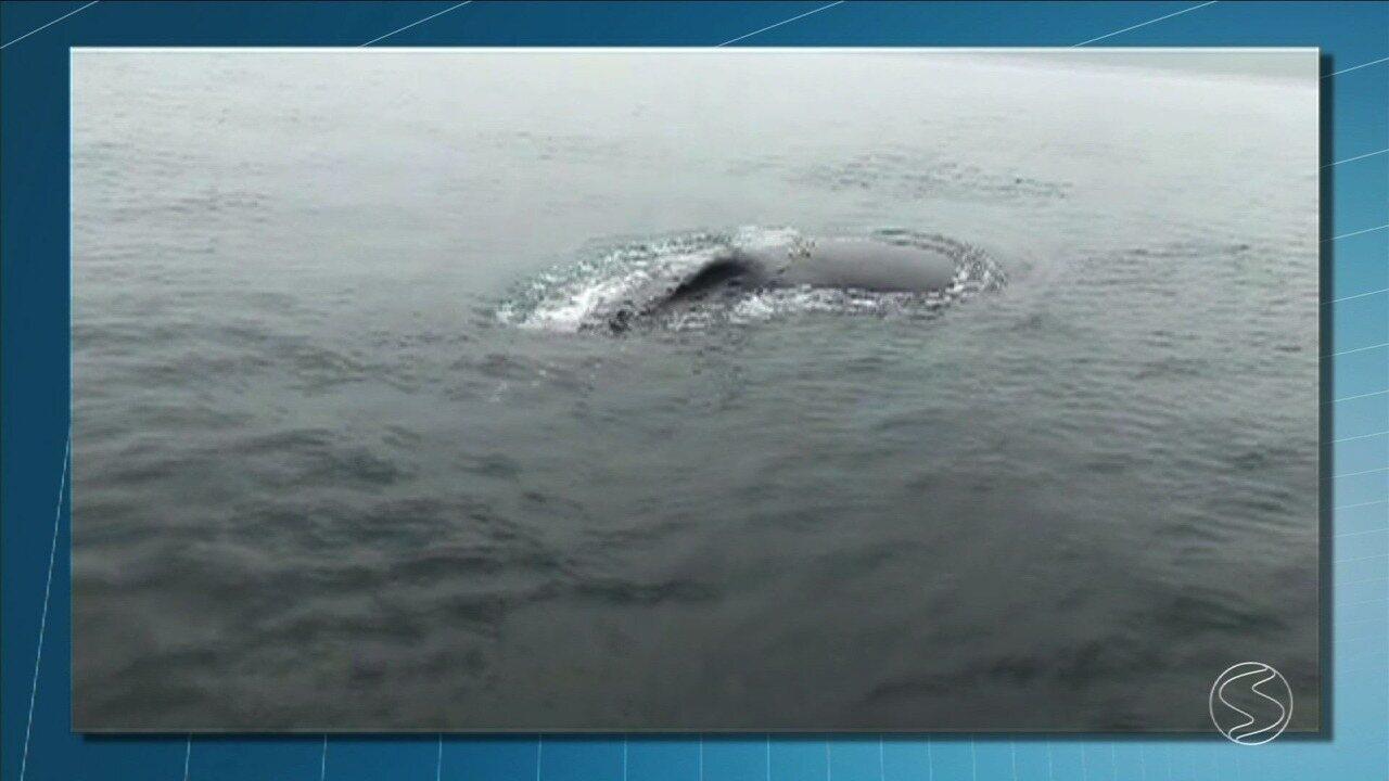 Baleia Jubarte e filhote são vistos no mar de Angra dos Reis
