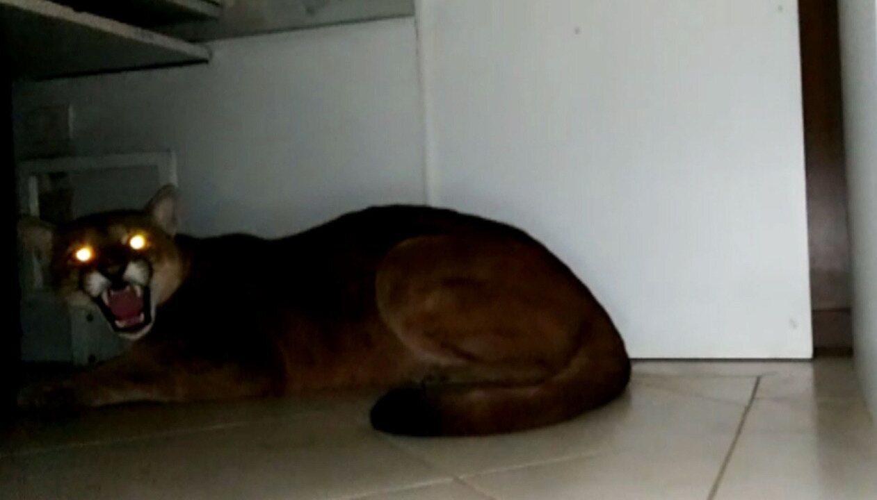 Onça é encontrada dentro de empresa em Itapecerica da Serra