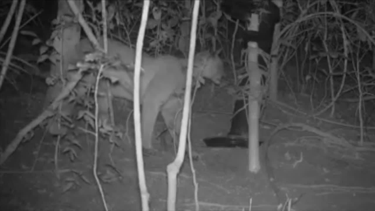 Câmera noturna flagra onça parda em Cordeiro