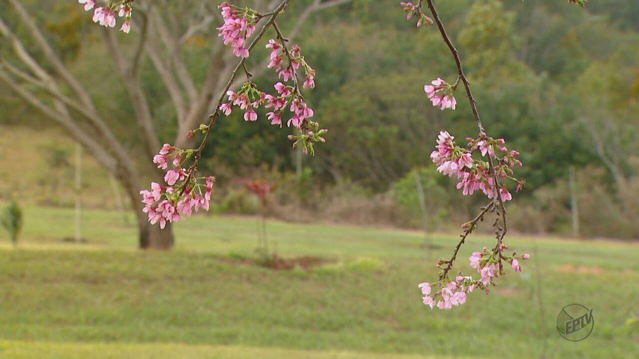 Pousada quer transformar florada de cerejeiras em atrativo turístico em Brotas, SP