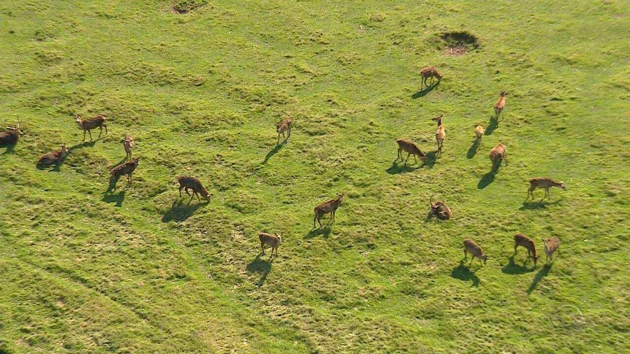 Cerca de 300 cervos exóticos serão sacrificados no Rio Grande do Sul