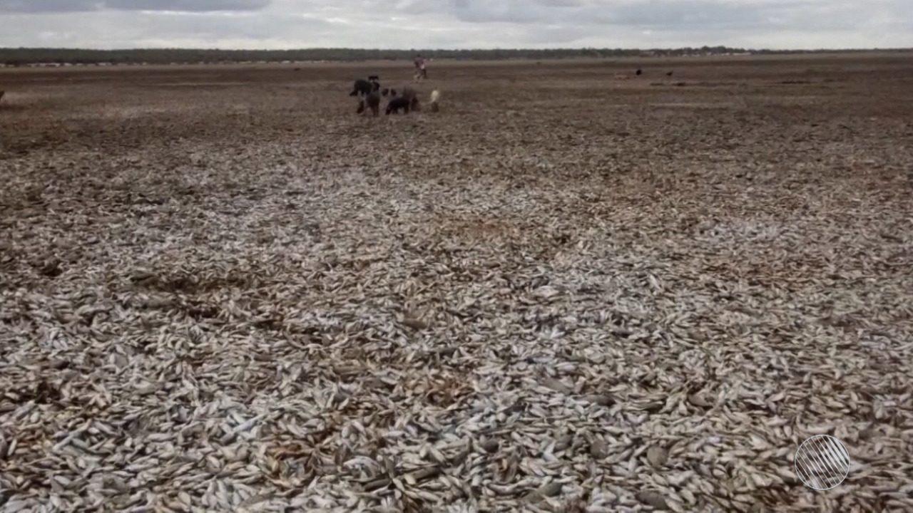Lagoa seca e milhares de peixes morrem em Xique-Xique, no oeste baiano
