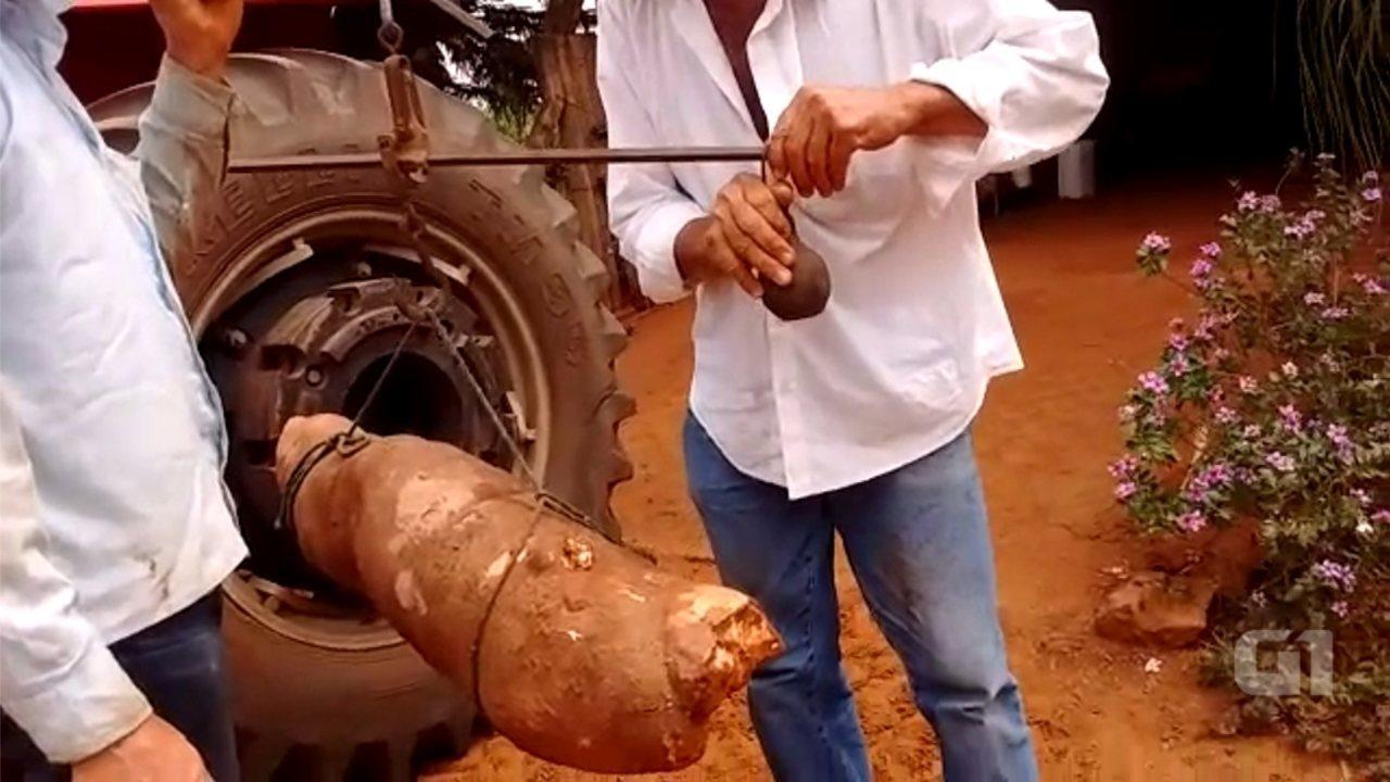 Agricultor colhe mandioca gigante em propriedade rural de Ibitinga