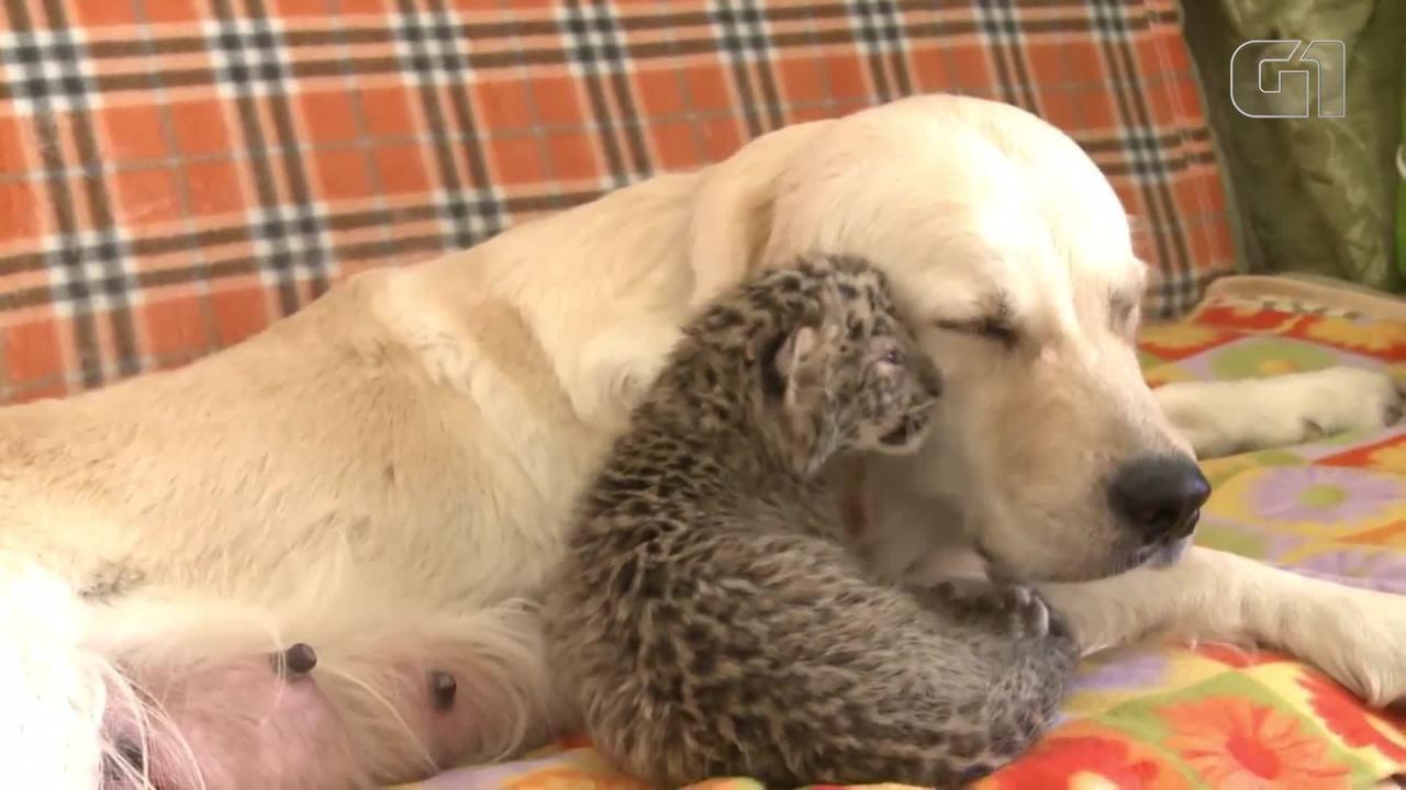 Filhote de leopardo é adotado por cachorra na Rússia