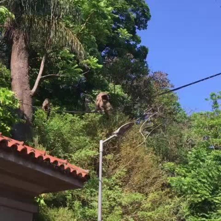Macacos eram vistos com frequência em casas no entorno da Cantareira e do Horto