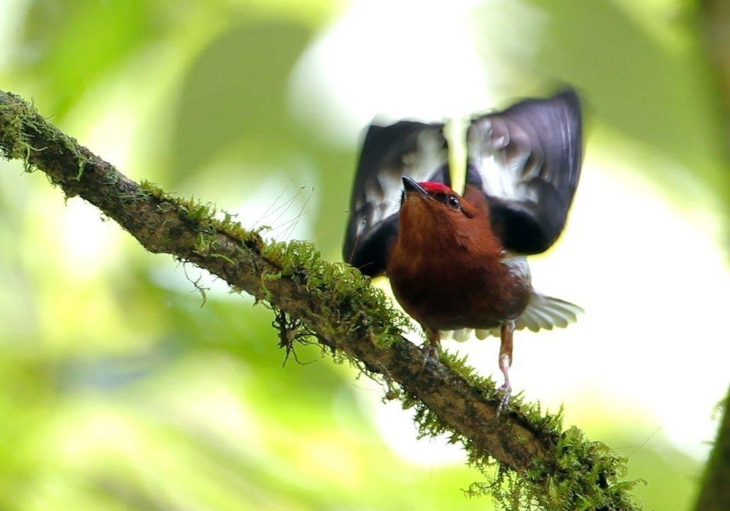 Aves dançam para conquistar a fêmea