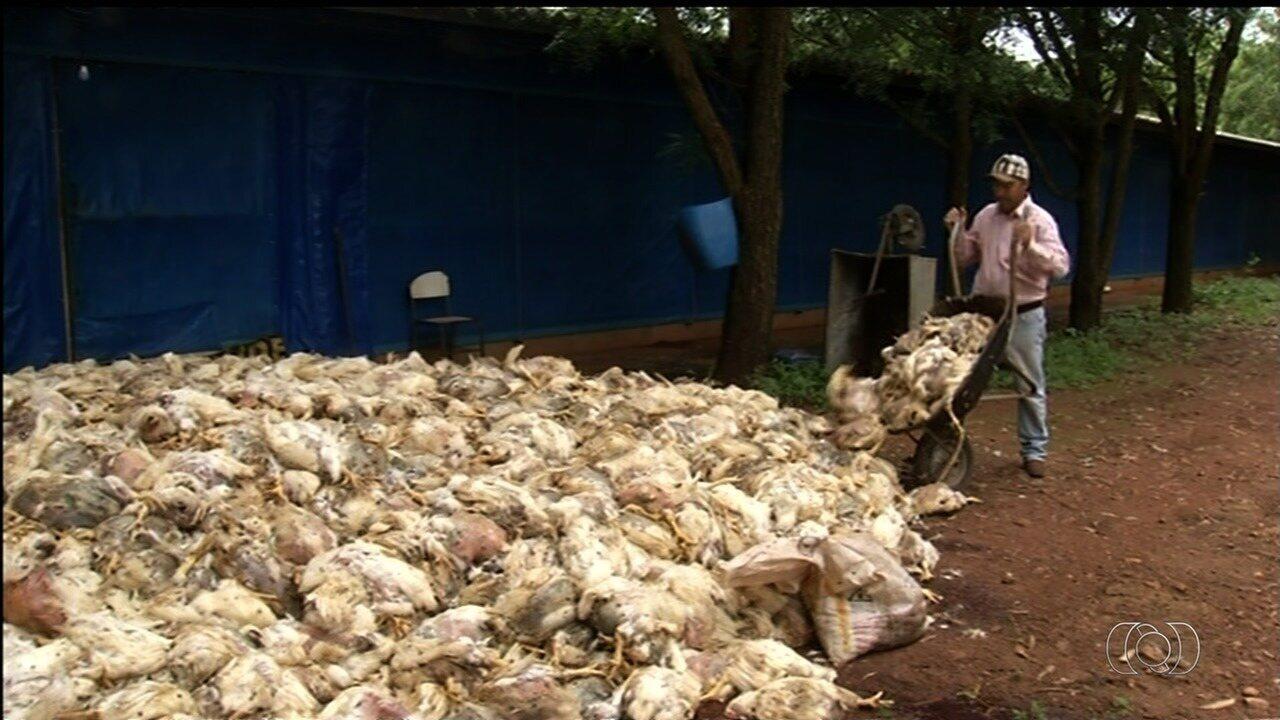 Produtora reclama que 2 mil frangos morreram por falta de energia em granja de Goiás