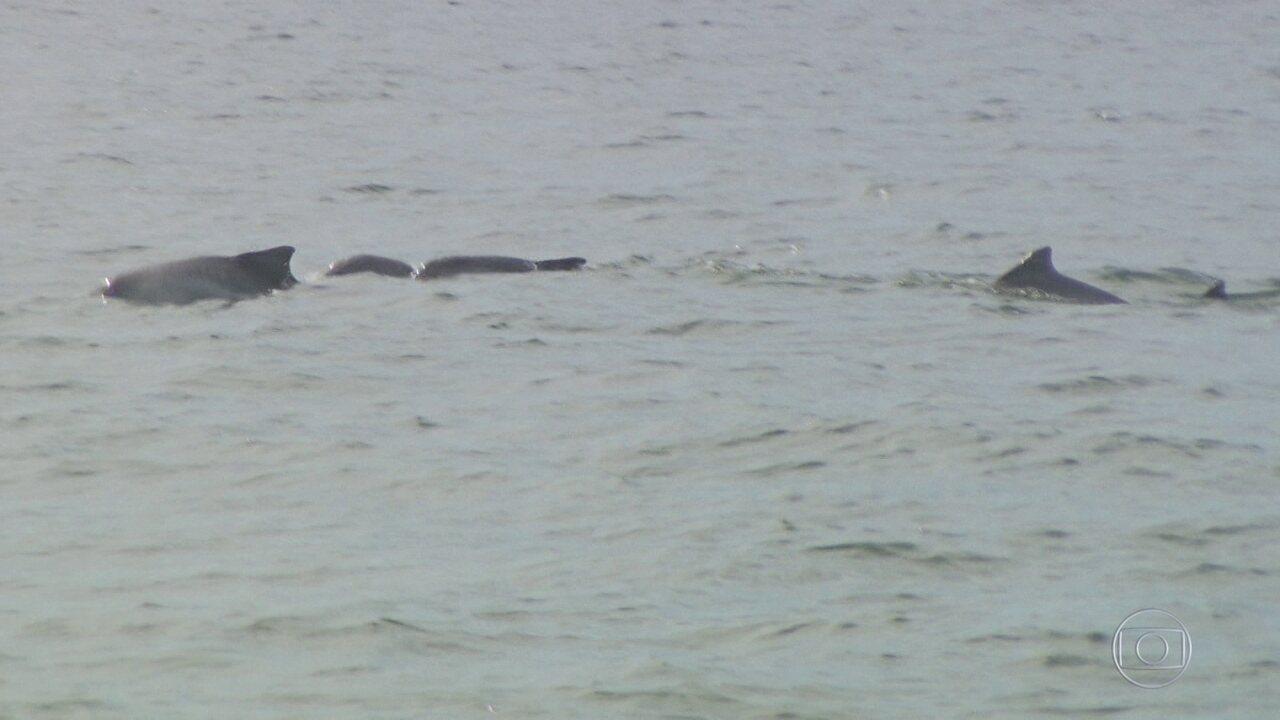 Mistério na Baía de Sepetiba: aumenta número de botos mortos