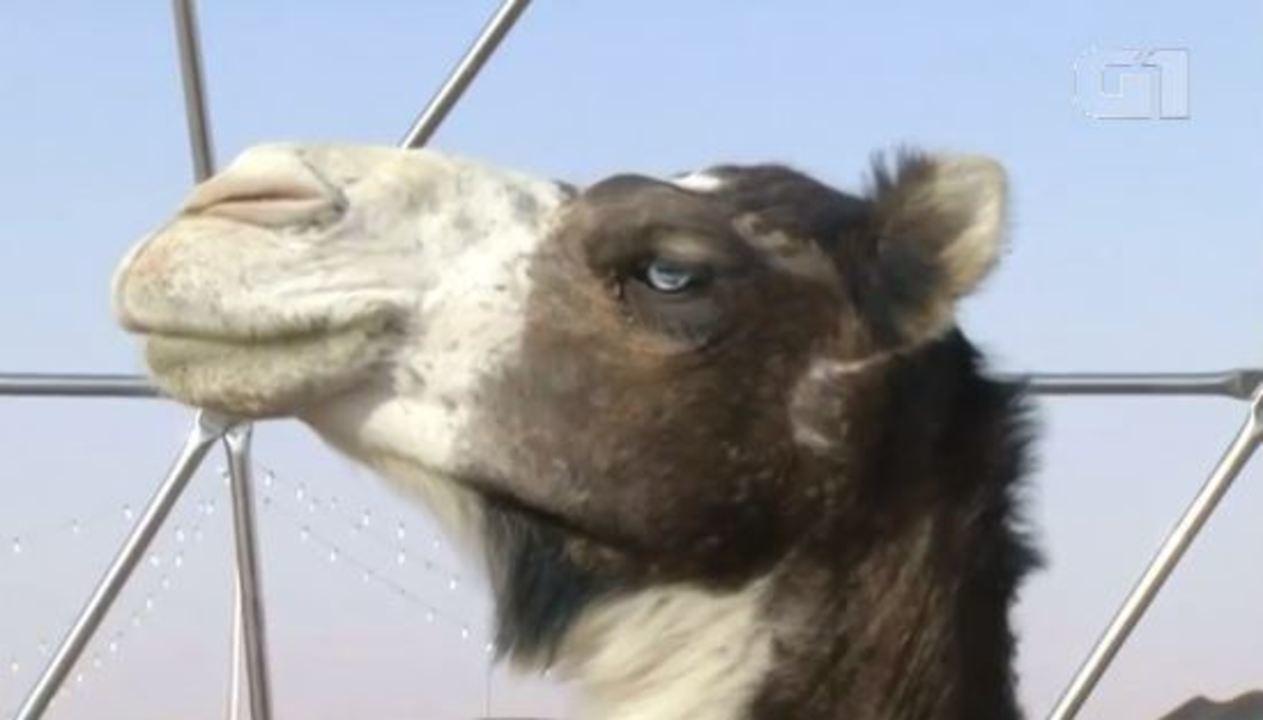 Camelos são desqualificados de concurso de beleza na Arábia Saudita por uso de botox