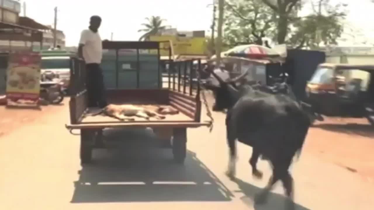 Vaca corre atrás de carroça que levava filhote ao veterinário, na Índia