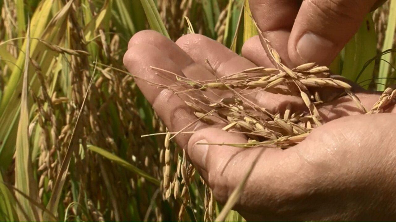 Chuvas comprometem safra de arroz no Paraná