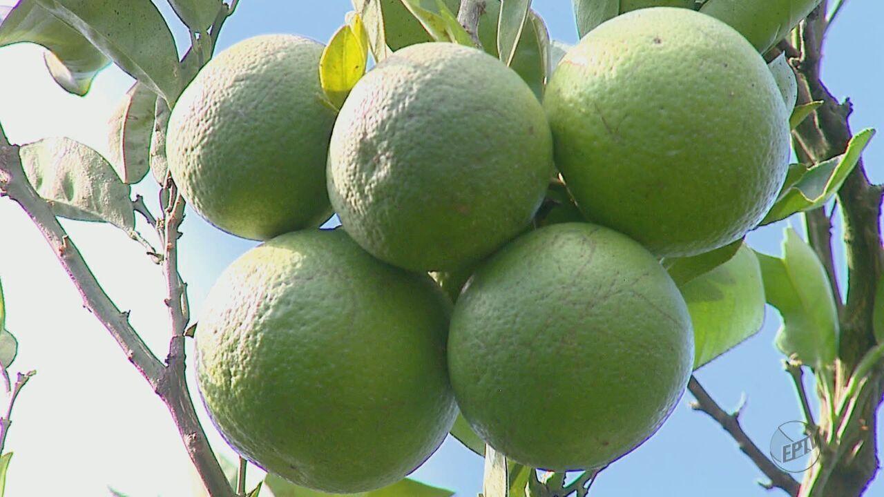 Repelente retirado da folha da goiabeira pode diminuir prejuízos do greening