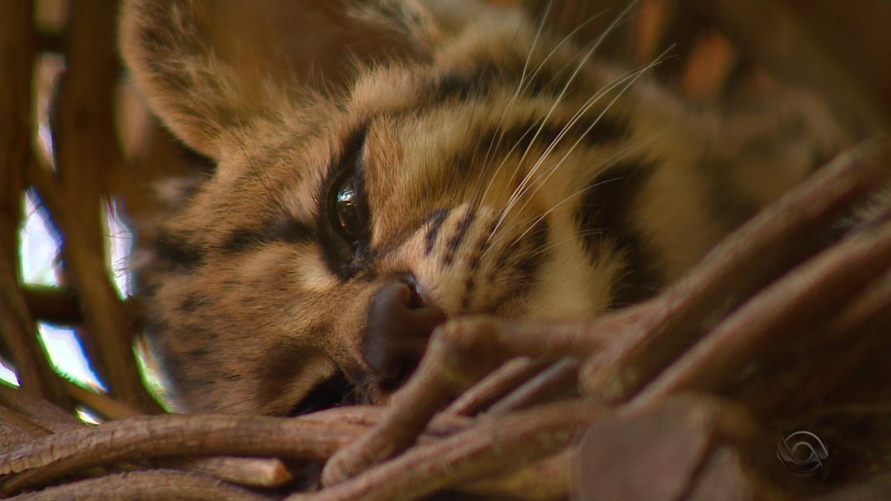 Gato-maracajá é atração do minizoo de Canoas