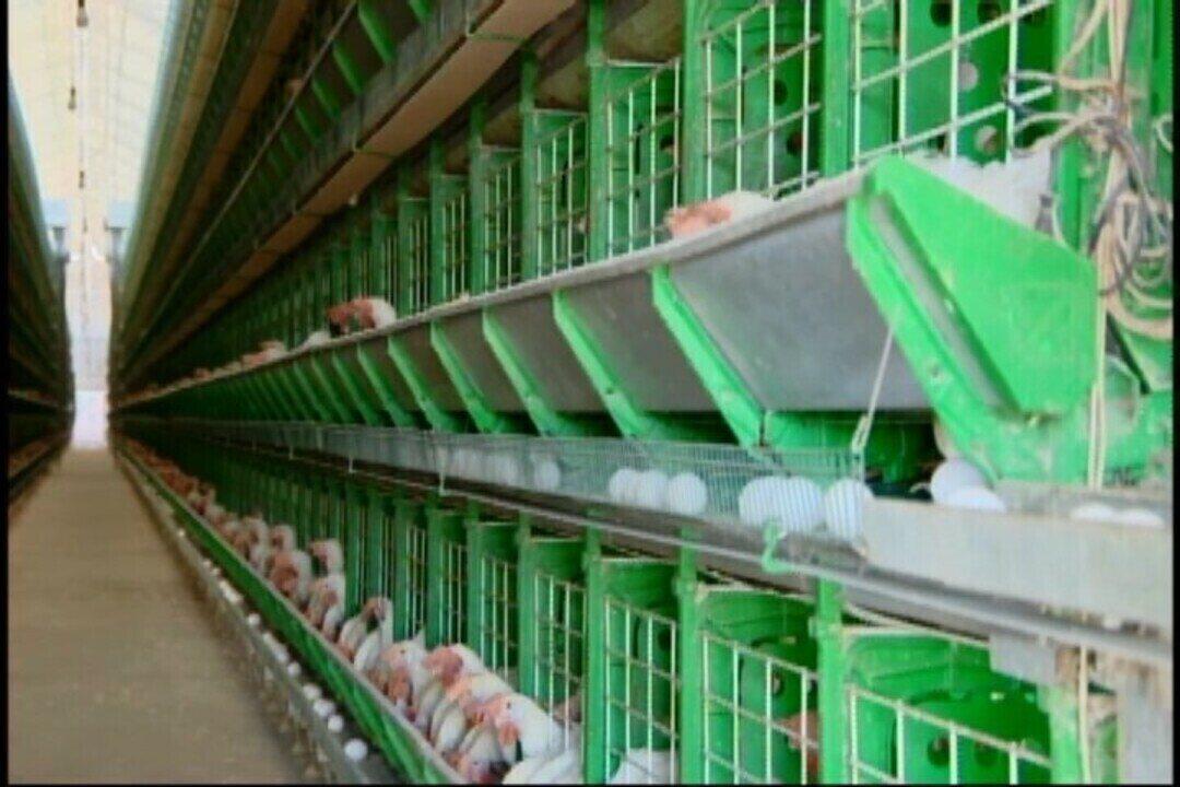 Com chegada da quaresma, avicultores esperam aumento das vendas no Centro-Oeste de Minas