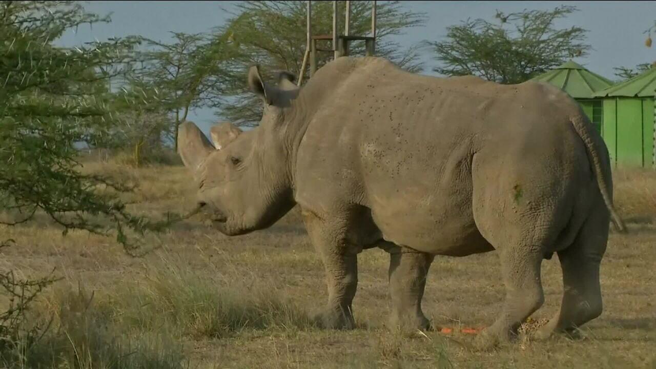 Morre o último macho de rinoceronte branco do mundo