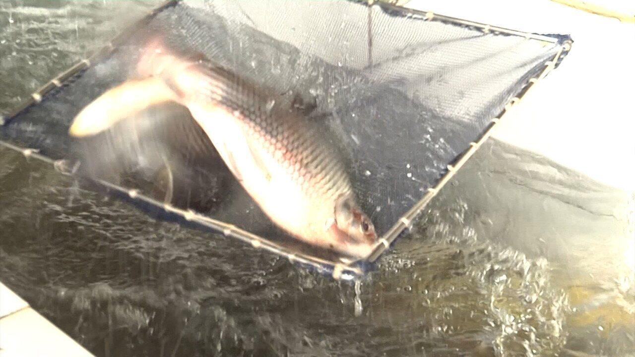 Investimento na criação de peixes em cativeiro é destaque no Mirante Rural