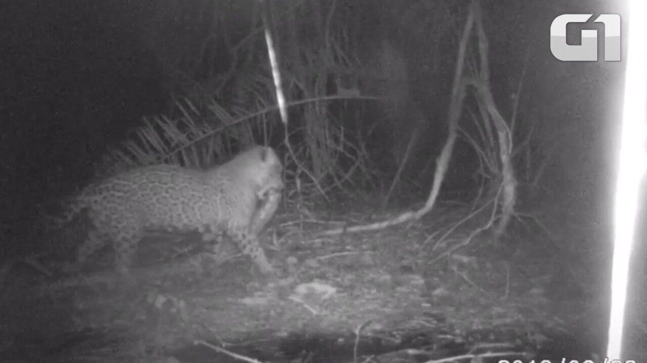 Onça carrega sucuri na boca no Pantanal de MT