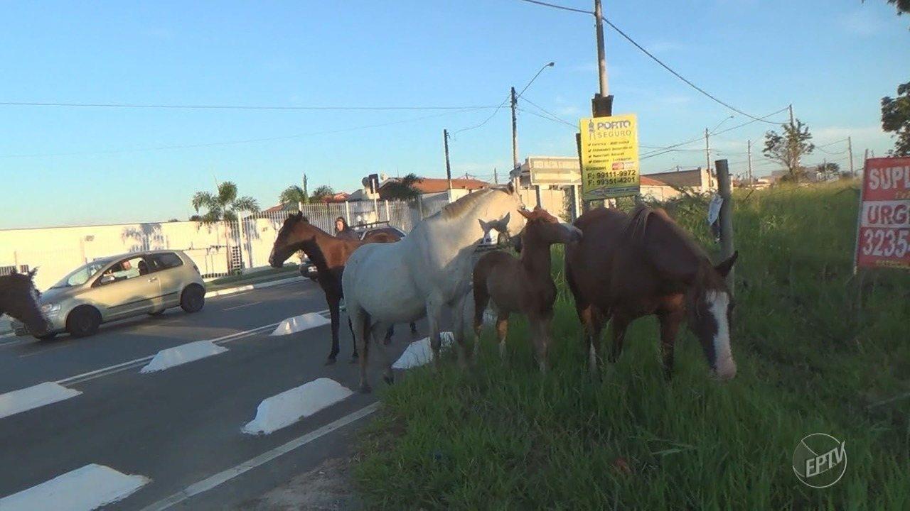Seis cavalos soltos ocupam Avenida Camucim, em Campinas