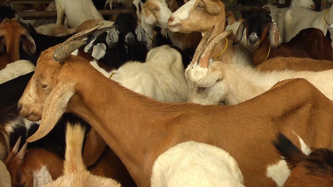 Programa responde carta sobre unhas das cabras e problemas após o parto