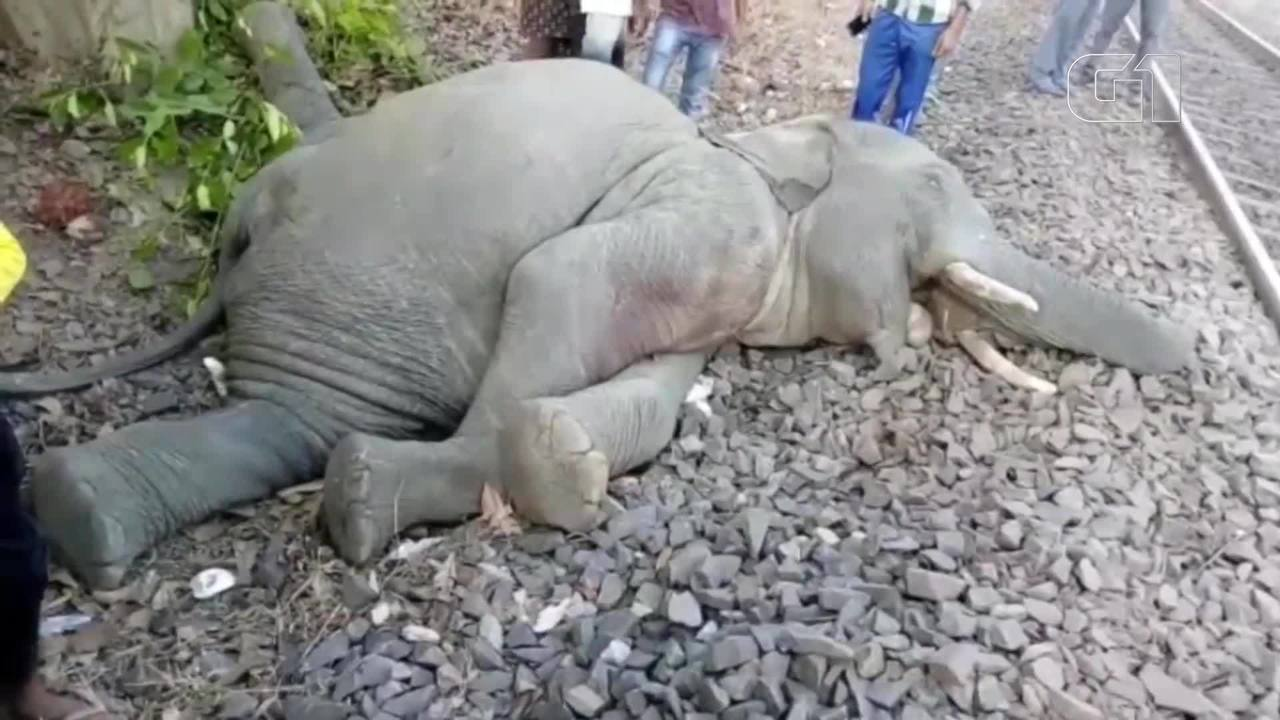Quatro elefantes são mortos por trem em alta velocidade na Índia