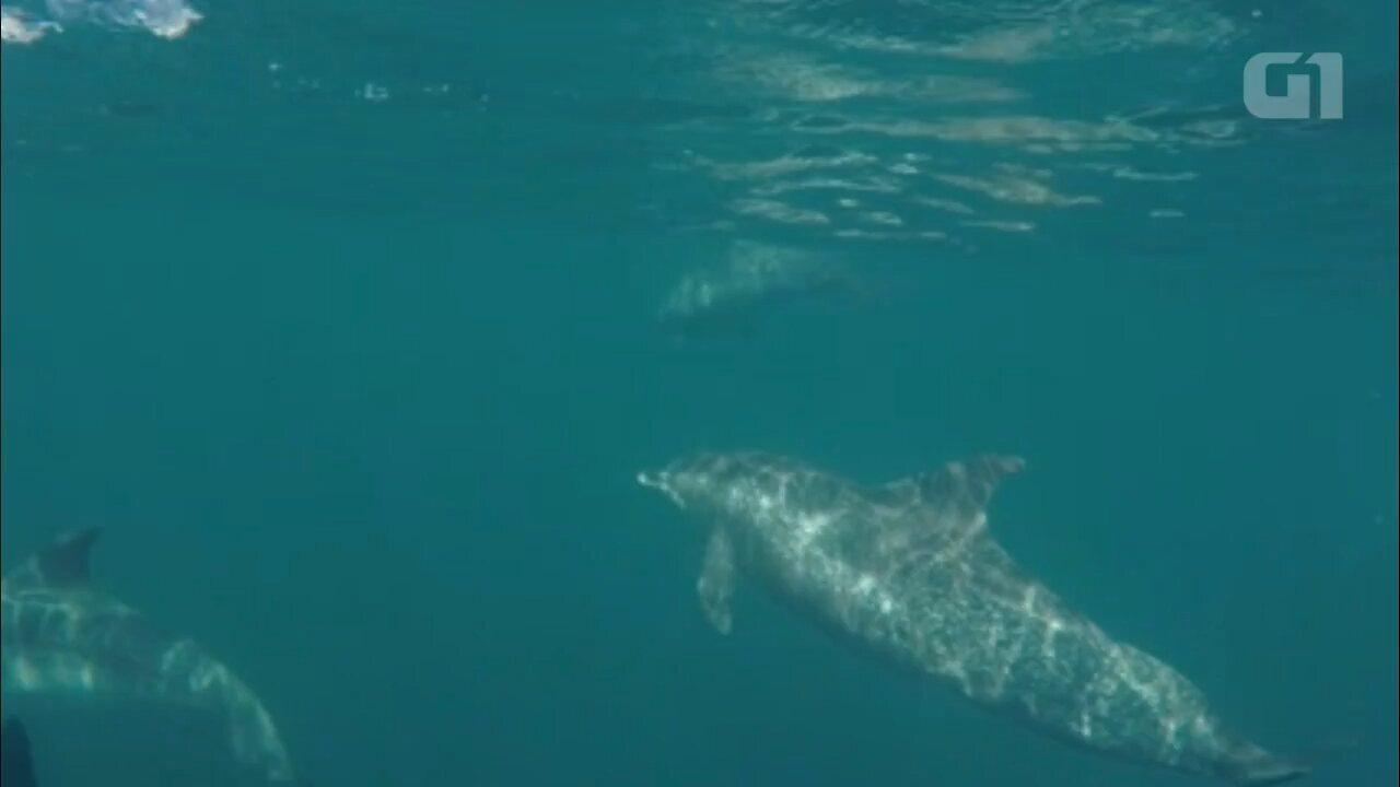 Biólogos registram aparição rara de golfinhos de duas espécies, no litoral do Paraná