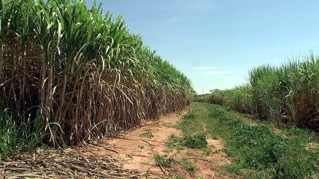 Produtividade da cana-de-açúcar diminui nos canaviais do Noroeste de SP