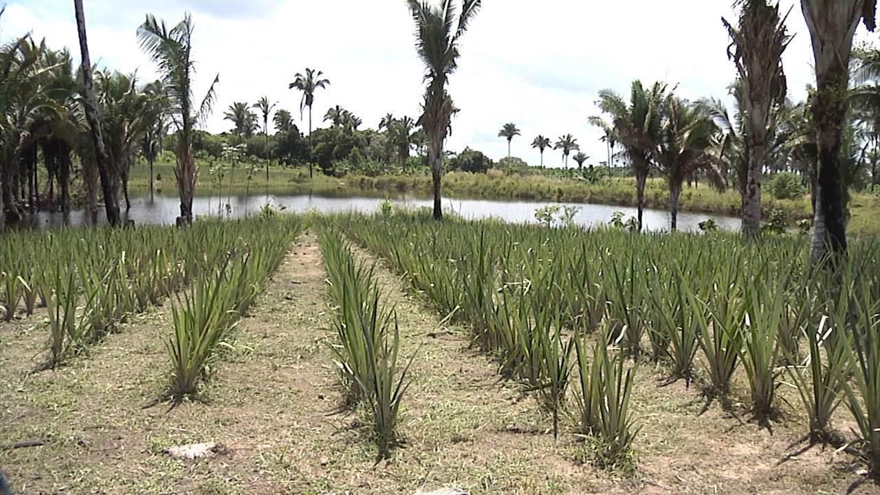 Mirante Rural destaca a colheita do arroz no Maranhão e os preparativos para a Agrobalsas
